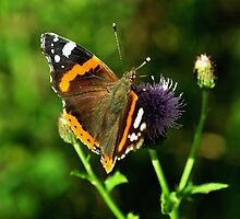 Red admiral by Russell Couch