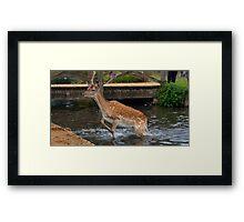 Deer in water Framed Print