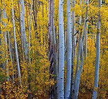 Golden Autumn Aspen Tree Portaits by Bo Insogna