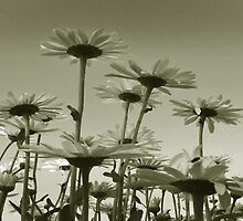 Panoramic Daisies by sarnia2