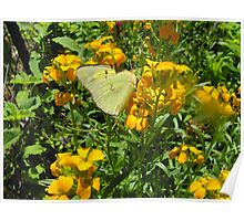 clouded yellow butterly Poster