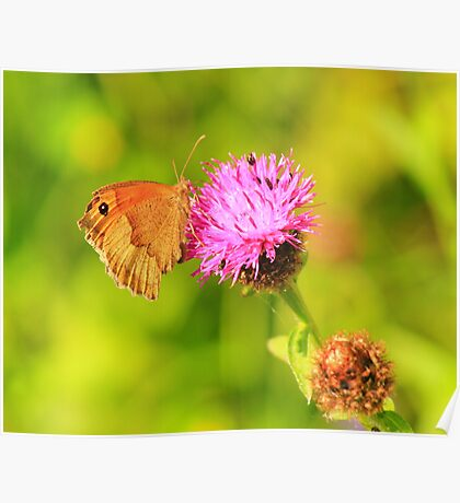 Meadow Brown Butterfly ( Maniola Jurtina) on Knapweed, Darlington,England Poster