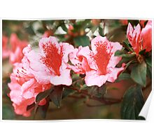 Closeup of azaleas blooming Poster
