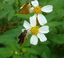Two little skippers, sip, sip. by May Lattanzio
