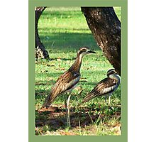 Curlews  Photographic Print
