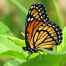 The Viceroy Butterfly by lorilee