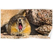 The Secret to Making a Pika Yawn on Cue Poster