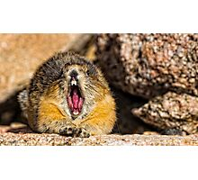 The Secret to Making a Pika Yawn on Cue Photographic Print