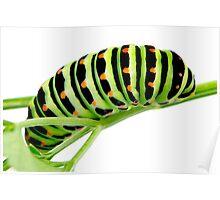 Swallowtail caterpillar Poster