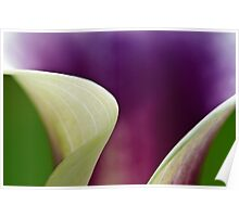 Curves of Calla Lily Poster