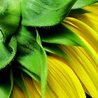 Make-A-Wish Sunflower by Debbie Robbins