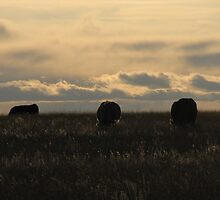 Highlighted Cows by Kathi Arnell