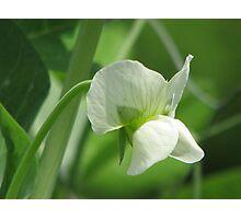Pea Flower Photographic Print