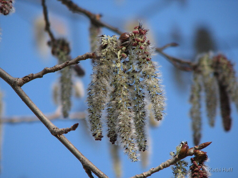 Catkins by Kathi Arnell