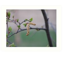 Birch Catkin Art Print