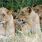 LAZY ONE WAY DIRECTION - The Kruger Park lions by Magaret Meintjes
