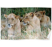 LAZY ONE WAY DIRECTION - The Kruger Park lions Poster