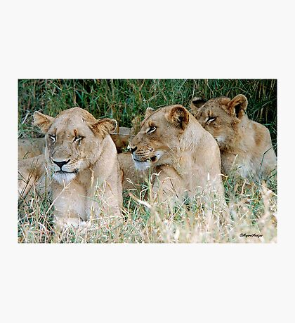 LAZY ONE WAY DIRECTION - The Kruger Park lions Photographic Print