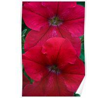 Red Petunia Duet Poster