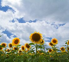 sunflowers by Carine LUTT
