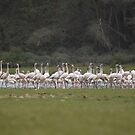 Flamingos of Crater lake, Naivasha by Karue
