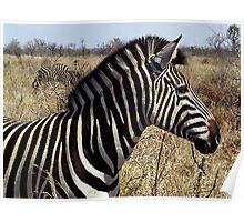Burchell's Zebra - Kruger National Park Poster