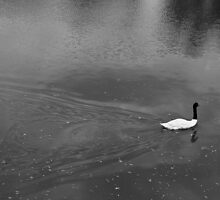 Return to swan lake by Robert Coppock