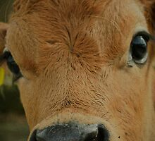 Darling Jersey bull calf.... by Wenz