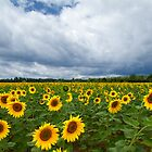 sunflowers before thunderstorm by Carine LUTT