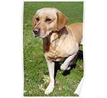 Labrador retriever (yellow / golden) ready to go Poster