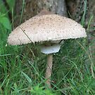 The parasol mushroom (Macrolepiota procera) by DutchLumix