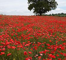 Oak tree in a sea of poppies by Christopher Cullen