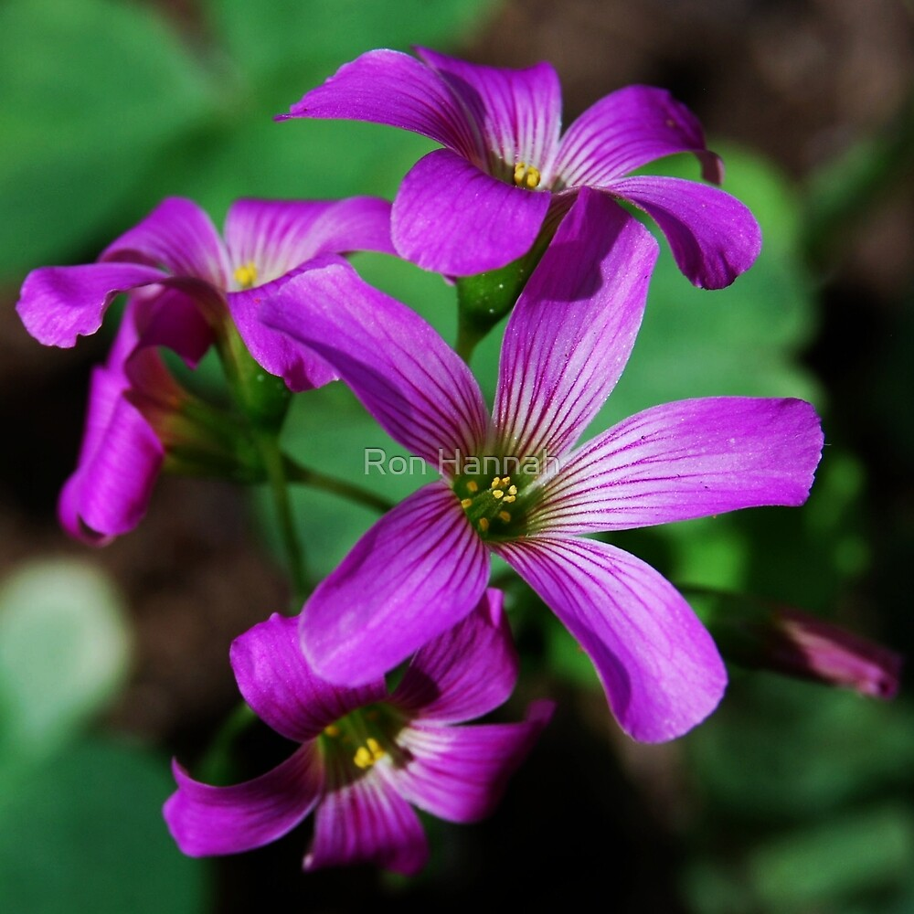 Tiny Oxalis Flower by Ron Hannah