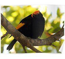 regent bowerbird Poster