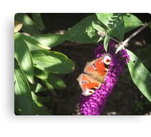 Red admiral Butterfly on Budlea Canvas Print