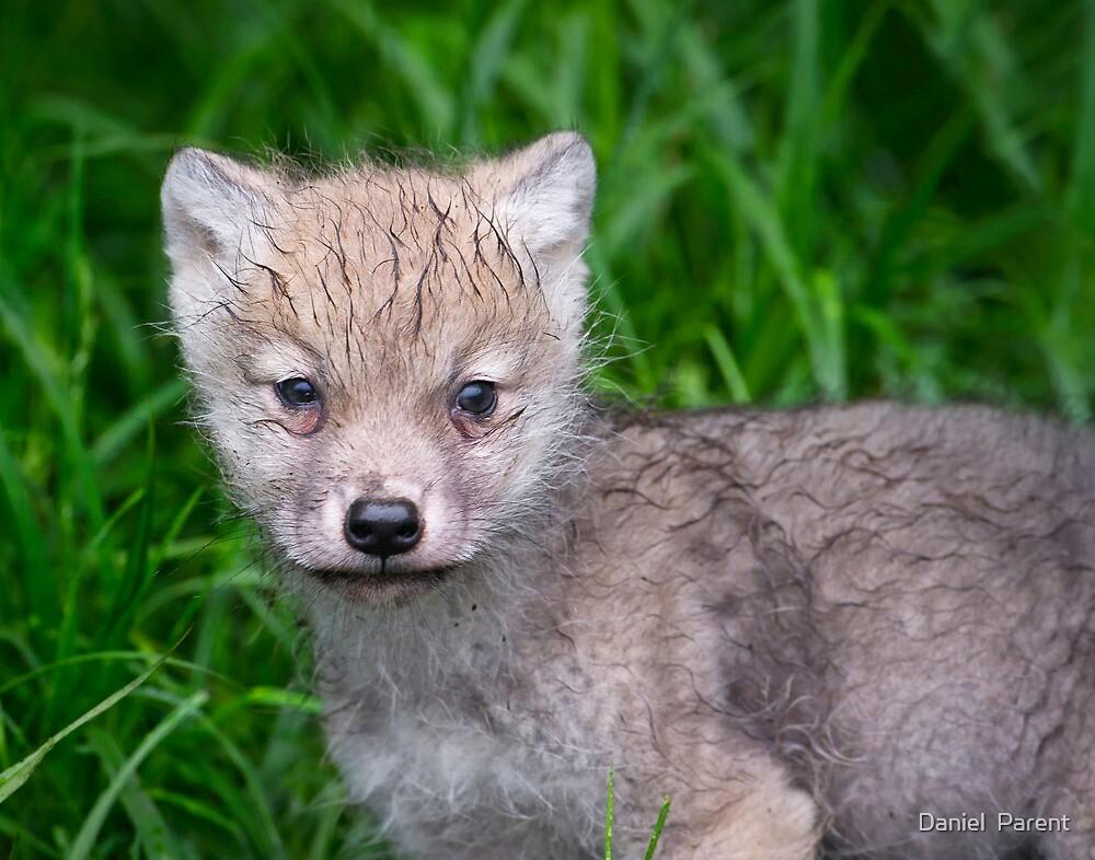 Arctic Wolf Pup Portrait  by Daniel  Parent