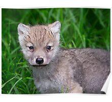 Arctic Wolf Pup Portrait  Poster