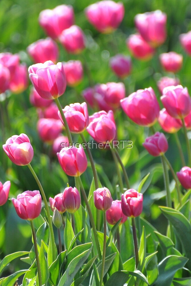 Pink Tulips by sweetheART3