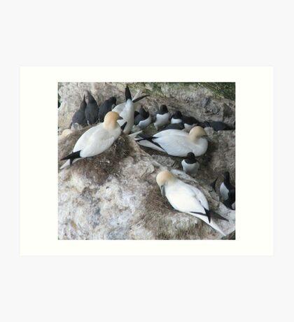 Gannets and Guillemots Art Print