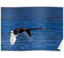 Black Swan In Flight Poster
