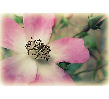 Vintage Pink Photographic Print
