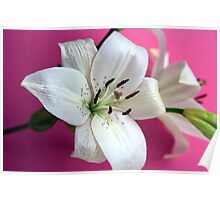 White lily on pink background Poster