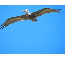 Brown Pelican {master & commander} Photographic Print