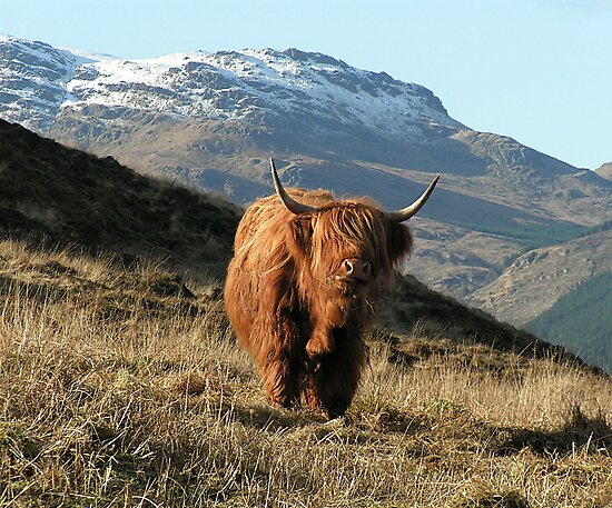 Highland coo (cow) by John Butterfield