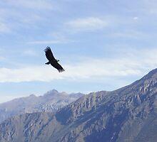Peruvian Condor by Daniel  Archer