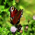 Peacock Butterfly by Russell Couch