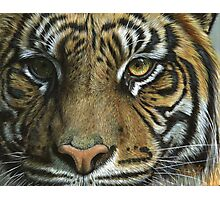 A Tiger Face Photographic Print