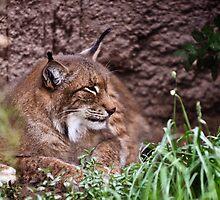 Bobcat by Robert  Miner