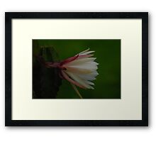 My mother cactus in bloom Framed Print