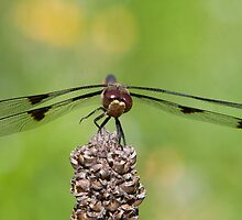 Four-spot Skimmer by DigitallyStill